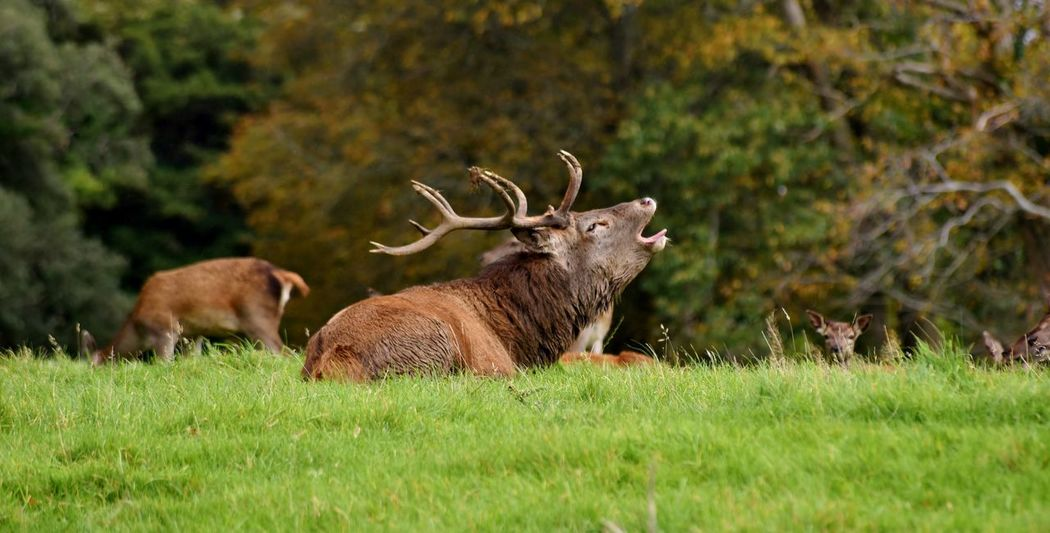 Deer Ireland Ireland🍀 Killarney  Killarney National Park Animal Themes Animal Wildlife Animals In The Wild Antler Day Field Grass Green Color Irelandinspires Killarneynationalpark Mammal Nature Outdoors Stag