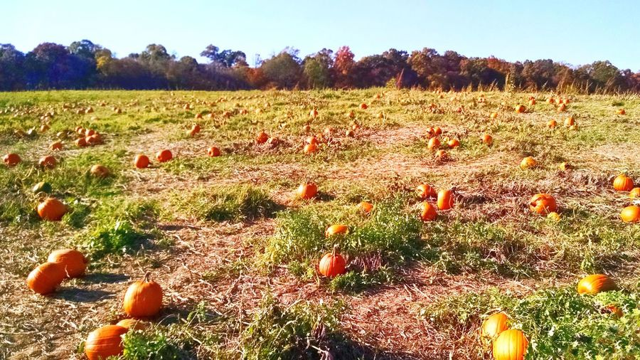 Pumpkin patch. Field Pumpkin Pumpkins Pumpkin Patch Autumn Autumn Colors Fall Beauty Fall Fall Colors Orange Color Blue Sky Field Nature Outdoors Day Farm Sky Harvest Harvest Time Harvest Season Halloween Autumn Activities Agriculture Clear Sky Marylandisforcrabs🦀