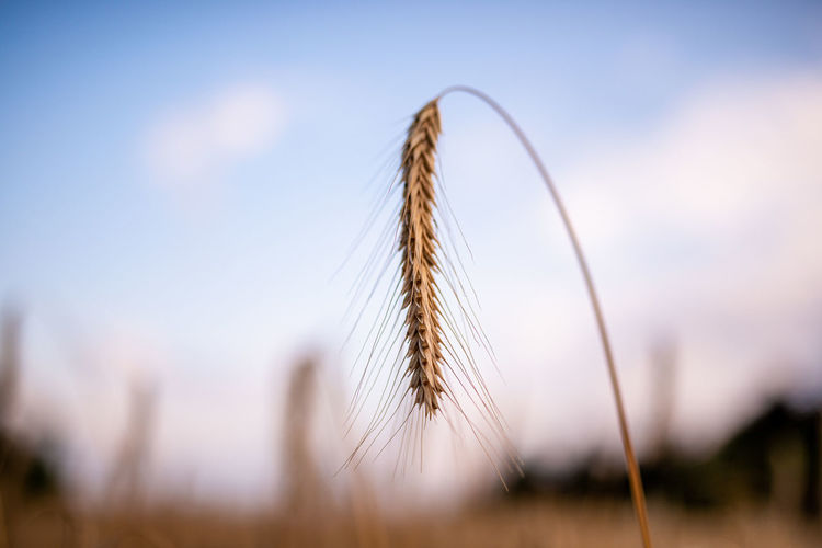 Close-up of stalks in wheat field against sky
