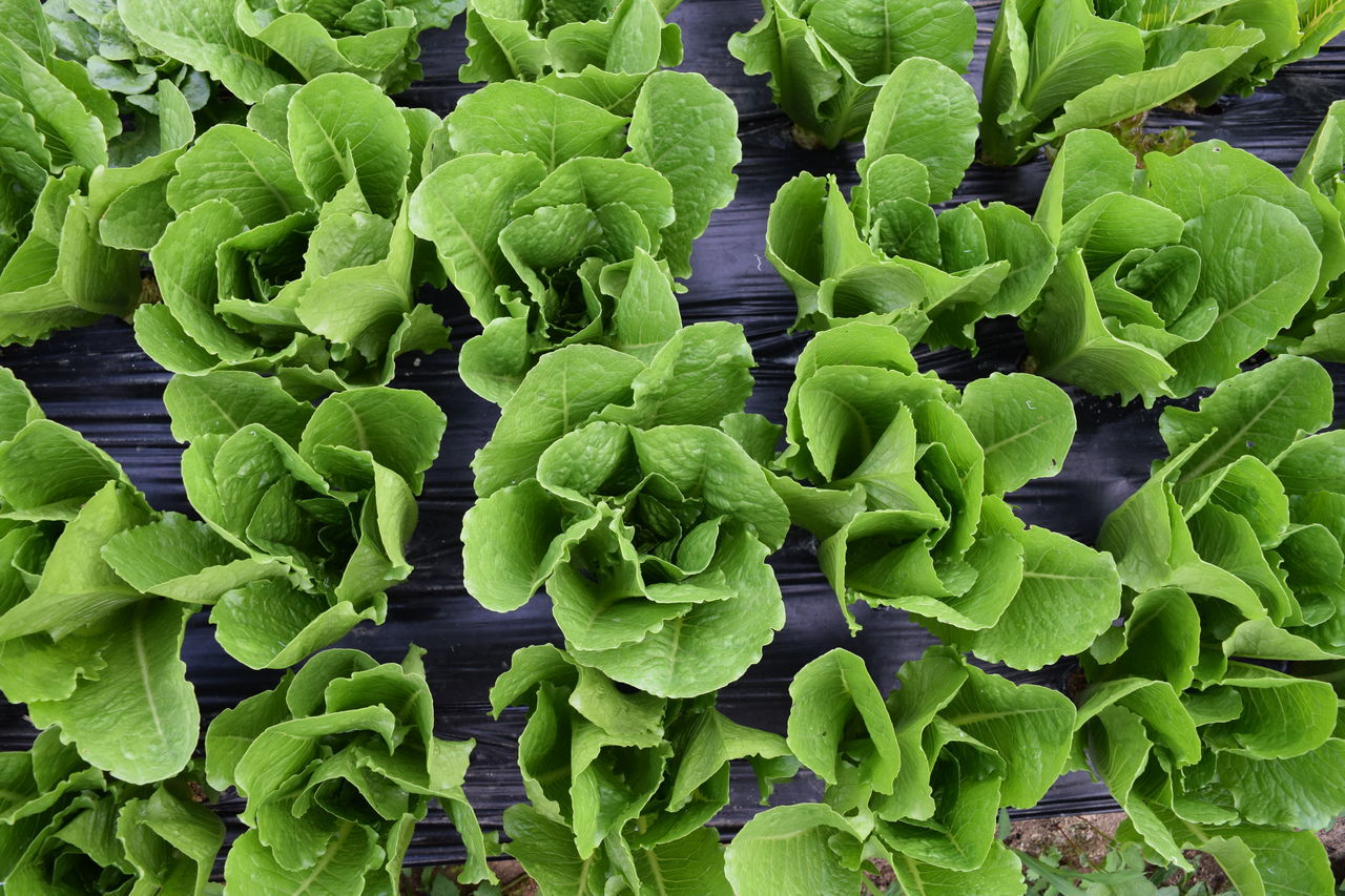 Full Frame Shot Of Lettuce
