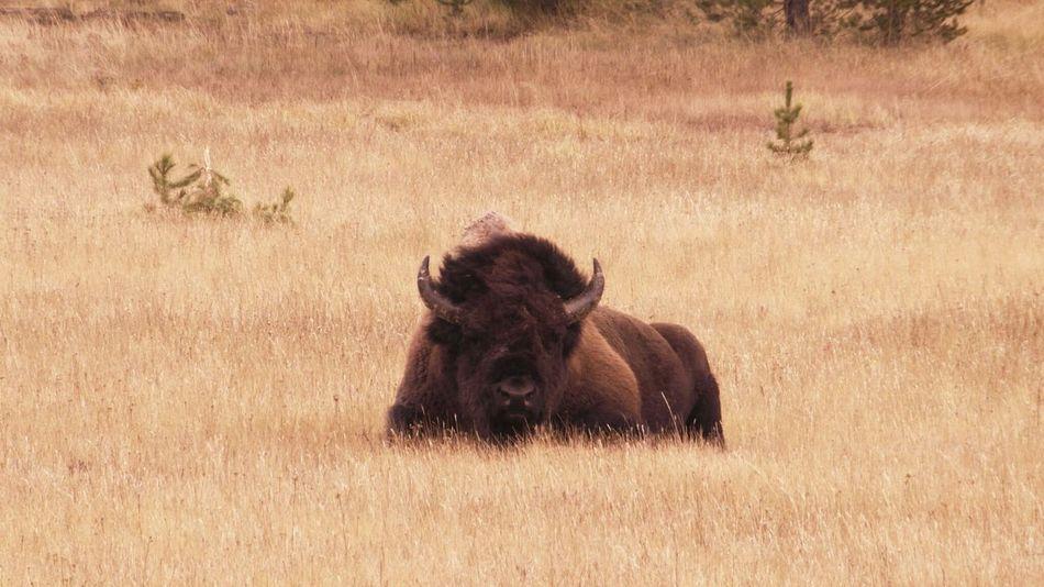 Yellowstone AllCreaturesGreatAndSmall Animal Animal Themes Animal Wildlife Animals In The Wild Buffalo Animal Head  Animal_collection Living Büffel