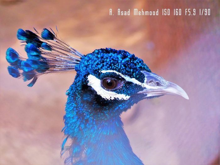 Peacock : Nature's Pallet Animal Themes Animal Wildlife Animals In The Wild Beak,bokeh Beauty In Nature Bird Birds Of EyeEm  Birds Wildlife Bokeh Close-up Day Eye Fanned Out Male Nature Nature Photography No People One Animal Outdoors Peacock Peafowl Peafowl Head Plumage Shades Of Blue Wildlife & Nature