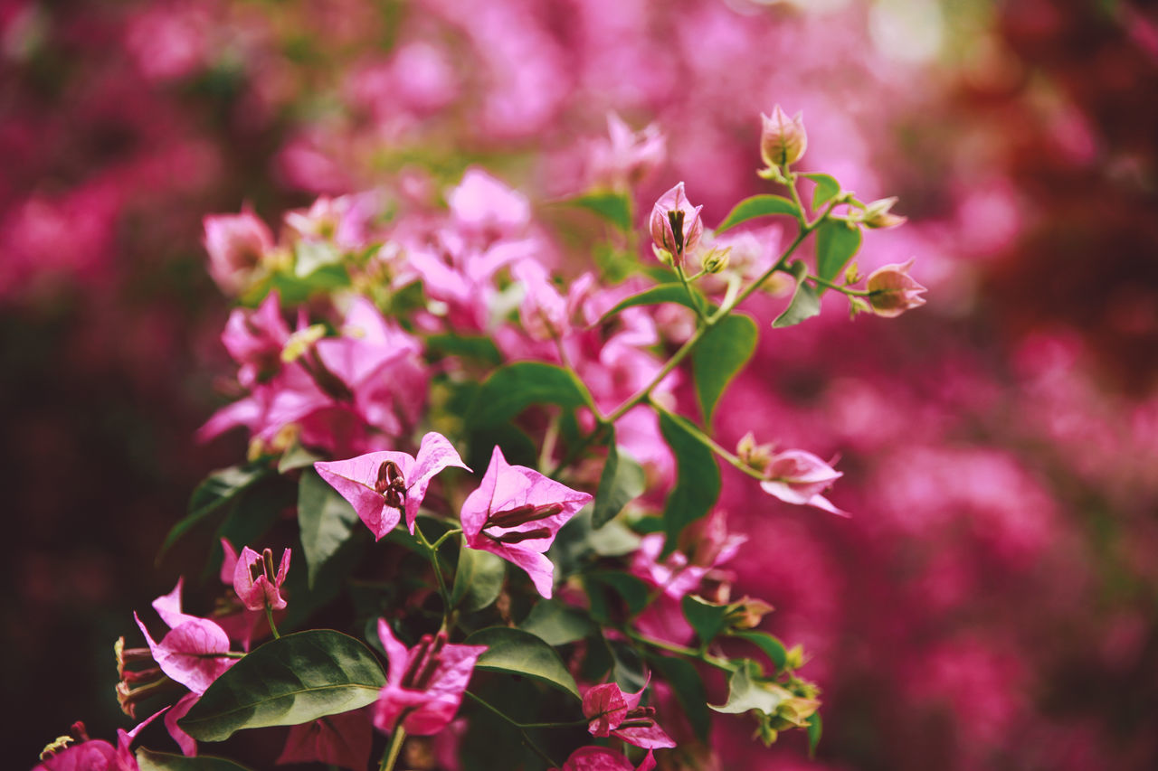 Close-Up Of Pink Bougainvillea Blooming Outdoors