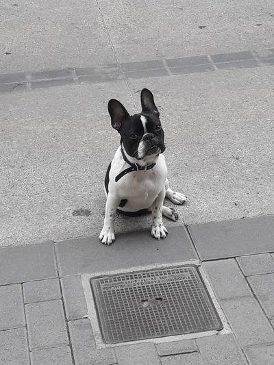 Bulldogfrances Perro Cachorro Quieto Vaquita