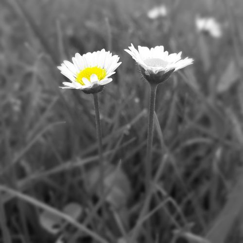 Daisies Wildflowers Floral Flowers EyeEm Nature Lover Beautiful Nature Flower Collection Photoart Art Blackandwhiteandcolor