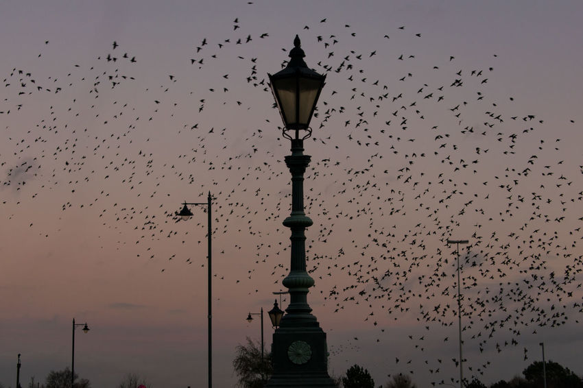 Murmuration Of Starlings Murmuration Flock Of Birds Bird Street Light Flying Architectural Column Animal Wildlife City Sky No People Outdoors Sunset Belfast
