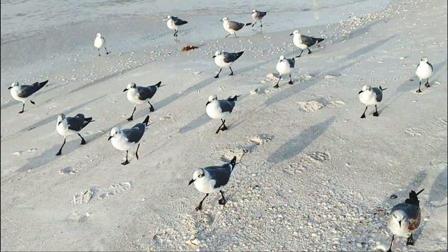 Beach Photography Seagull Seaside Bird Photography Bird Watching Feathered Friends Birds Birds Following Me Walking The Beach Florida Birds Feathers Beach Life Salt Life Sarasota Florida Ocean Life