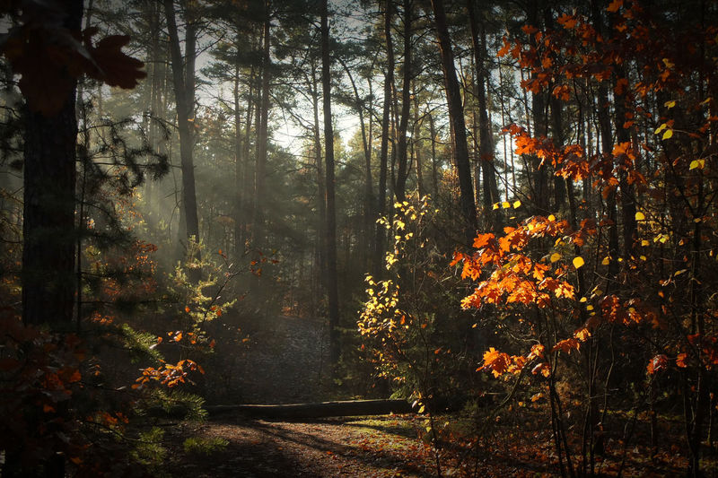 Beautiful morning light in the autumn forest Nature Tree Morning Light Autumn Sunlight Day Outdoors Forest Tranquility Change Plant Land Tree Trunk Growth Beauty In Nature WoodLand Trunk No People Autumn Collection Orange Color Tranquil Scene Non-urban Scene Scenics - Nature Environment