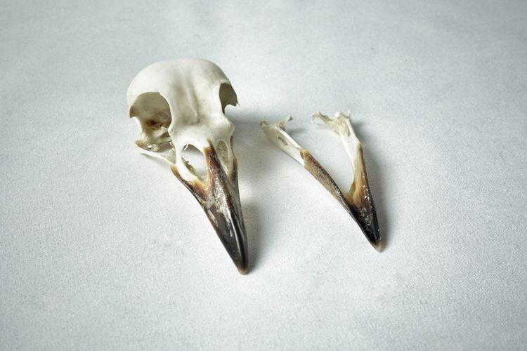 corvus frugilegus Rook Skull Bird Skull Skull Bone  Texture White Background Detail Close-up Shot Nature Mortality Death Contrast Single Object Animal Animal Body Part Animal Themes