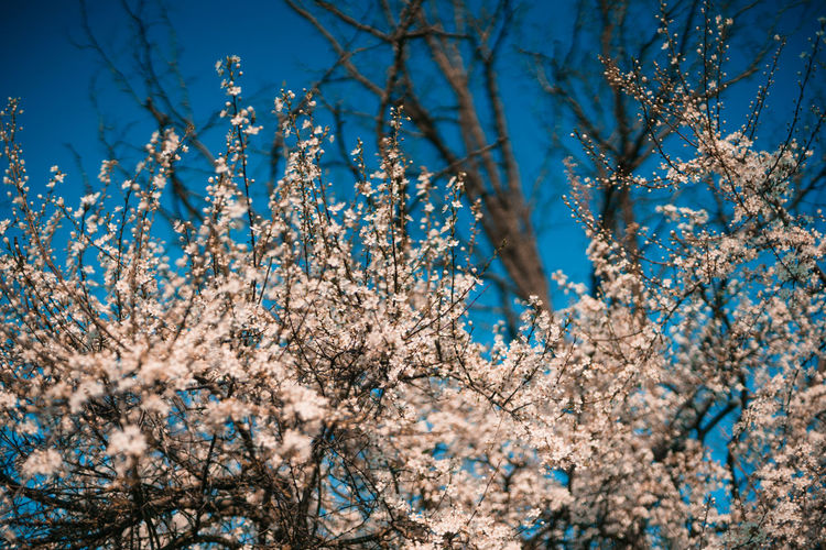 Plant Tree Flower Beauty In Nature Growth Flowering Plant Low Angle View Branch Nature No People Fragility Sky Springtime Blossom Day Blue Freshness Vulnerability  Close-up White Color Outdoors Cherry Blossom Cherry Tree