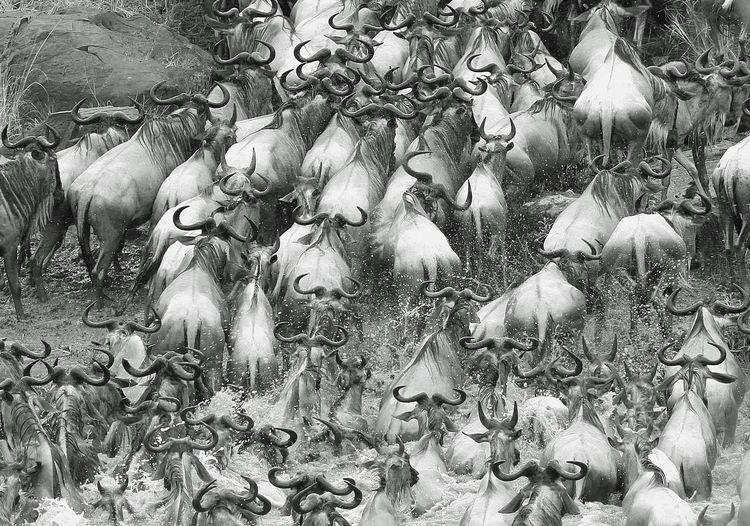 High angle view of wildebeests in river at maasai mara