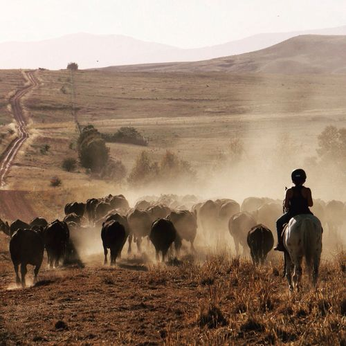 Moving cows! Australia Anguscattle Cattle Mansfieldmtbuller Beautiful Light Nenaghpastoral Horses