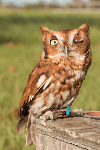 Winking screech owl Animal Themes Animal Wildlife Animals In The Wild Bird Bird Of Prey Close-up Day Focus On Foreground Nature No People One Animal Outdoors Perching