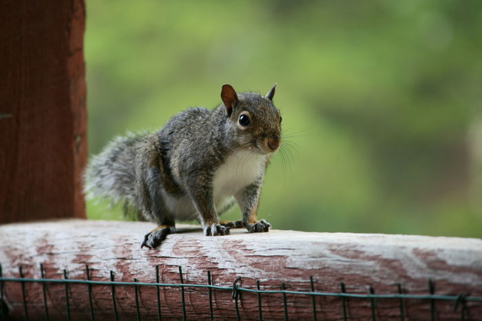Animal Themes Animal Wildlife Animals In The Wild Close-up Day Fence Focus On Foreground Full Length Mammal Nature No Filter No Edit No People One Animal Outdoors Porch Railing Squirrel