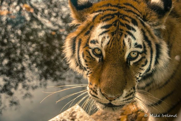 Majestic tiger Animals In The Wild One Animal Animal Wildlife Tiger Nature Day Close-up Animal Themes Outdoors No People Portrait Tree Mammal tiger EyeEm Best Shots
