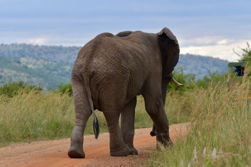 Elephant 🐘 Elephant Landscape Nature Animals In The Wild One Animal Sky Safari Animals Outdoors Beauty In Nature Animal Themes Field Mammal Standing Animal Wildlife African Elephant Day Tusk Animal Trunk No People Scenics EyeEm Nature Lover Nature EyeEm Wildlife & Nature Wildlife Photography