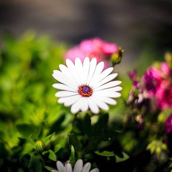 When the Bokeh calls..... Flowers Flowersofinstagram Canon 5dmk2 50mm NiftyFifty Nofilter Nofilterneeded Flowerporn Flowermagic Dof Whoneedsdigital Photowalk Adventure