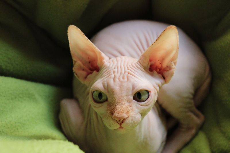 EyeEm Selects Animal Themes Pets EyeEmPaid Domestic Animals Mammal One Animal Bed Looking At Camera High Angle View Home Interior Portrait No People Domestic Cat Close-up Young Animal Feline Day Sphynx Sphynx Cat Google Getty Images EyeEm Best Shots Cat Cats Of EyeEm Pet Portraits