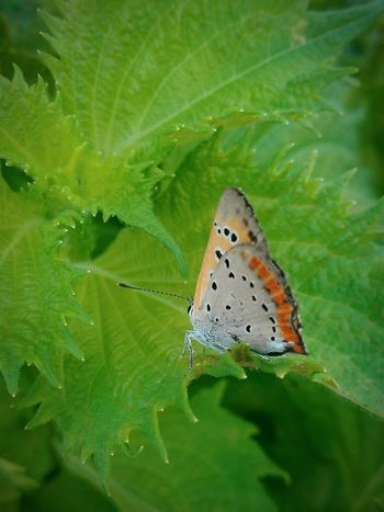 Elfin Beautifil Butterfly Nature_collection Smartphonephotography Country Life