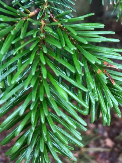 Green Color Growth Plant Leaf Plant Part Nature Beauty In Nature Day Tree Close-up Focus On Foreground Wet No People Outdoors Drop Freshness Pine Tree Coniferous Tree Branch Tranquility