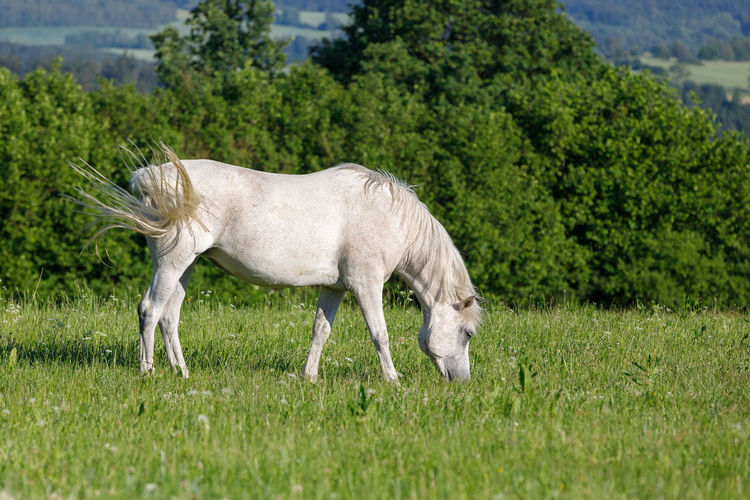 white horse grazing in a spring grass meadow pasture on farm, rural countryside scene Horse White Grazing Graze Pasture Animal Thoroughbred Standing Grass Farm Beautiful Beauty Nature Field Meadow Green Summer Stallion HEAD Mammal Equine Equestrian Springtime Rural Young Food Landscape Mane Mare Healthy Spring Wild Tree Arabic Color Natural Elegant Wildlife Eating Domestic Pet Farming Ranch Gray Eat Evening Sun Free Freedom Happy