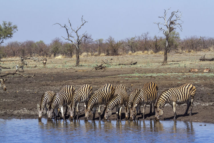 Zebras drinking water from lake
