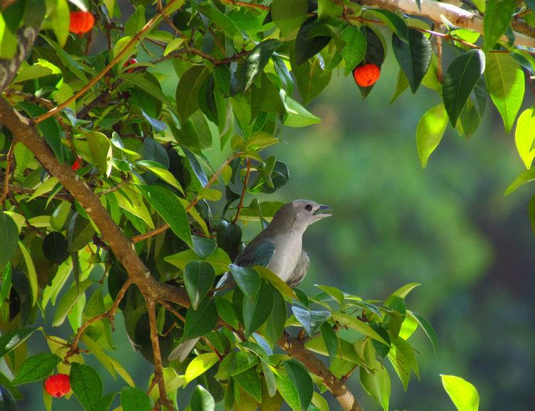 Animal Photography Bird Cherry Fruit Leaf Nature Pajaros Passaros Pitanga Redfruits Sanhaço Tree sanhaçu-cinzento