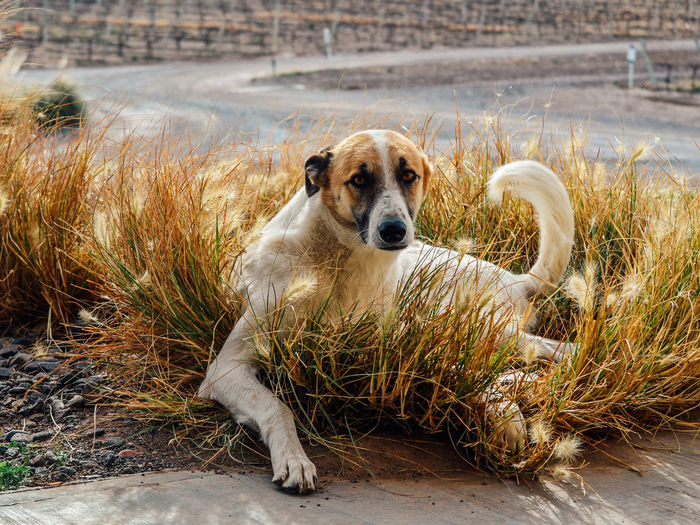 Street dog chilling in a wineyard