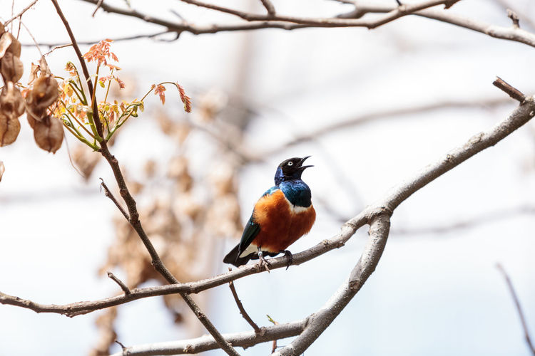 Close-up of superb starling perching on branch