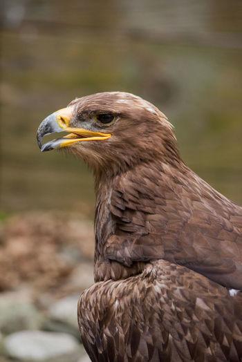 Beak Animal Themes Animal Wildlife Animals In The Wild Beak Bird Bird Of Prey Birds Close-up Day Eagle - Bird Focus On Foreground Nature No People One Animal Outdoors
