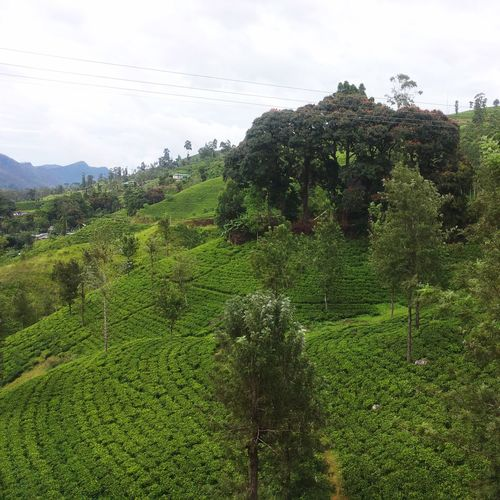 Tea plantation in Sri Lanka Tree Tea Plant Plant Sky Green Color Growth Nature Beauty In Nature Land Field Tree Landscape Day No People Tranquility Environment Scenics - Nature Tranquil Scene Mountain Cloud - Sky Rural Scene Outdoors