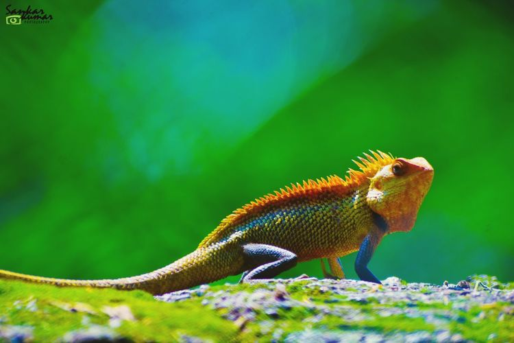 Green Color One Animal Animal Wildlife Nature Animals In The Wild Animal Themes Beauty In Nature Reptile No People Chameleon Close-up Outdoors Day Multi Colored