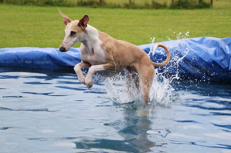 galgo have fun in the pool Funny Galgo Galgo Español. Action Active Animal Themes Day Dog Domestic Animals Galgo Espanol Galgoespañol Garden Greyhound Jumping Mammal One Animal Outdoors Party Pets Pool Sighthound Splashing Sport Water Windhund