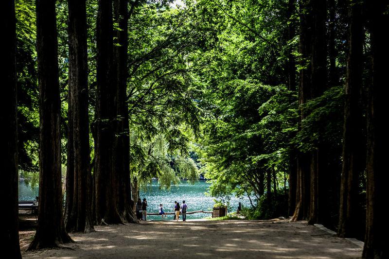 People visiting metasequoia trees