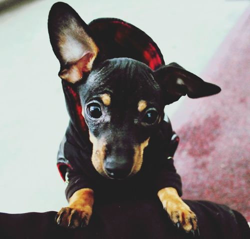 My little perdro Chiweenie Dog Pets Looking At Camera Domestic Animals Close-up Indoors  Follow Photography New Brunswick, Canada Handsome