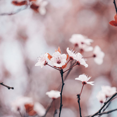 Beautifull sakura cherry blossom in spring season