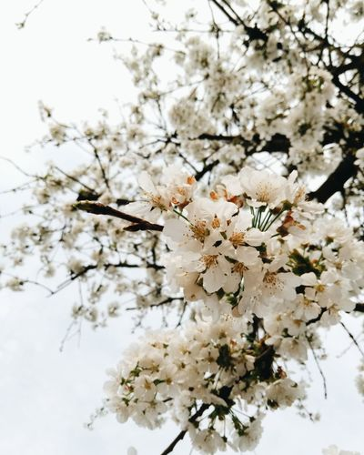 Nature Beauty In Nature Tree Flower Growth White Color Branch Fragility Twig No People Blossom Outdoors Springtime Plant Day Close-up Freshness