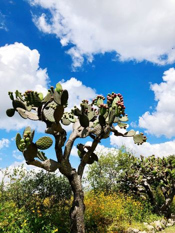 Nopal Nopal Cloud - Sky Sky Plant Growth Nature Tree EyeEmNewHere No People Outdoors Day Beauty In Nature Sunlight Tranquility Flower Flowering Plant Blue Green Color Scenics - Nature