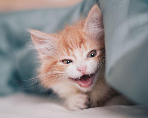 Evil kitten Now Animal Themes Buy Cats Close-up Day Daylight Domestic Animals Domestic Cat Feline Indoors  Kitten Mammal One Animal Pets Red Kitten Sleeping Cat Sleeping Kitten