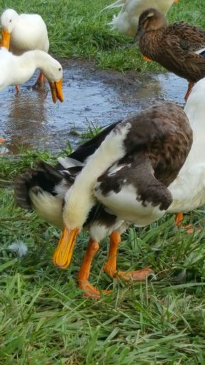 Hanging Out Taking Photos Check This Out Cheese! Relaxing Hi! Enjoying Life Water Sports Look What I Can Do! Check This Out Indian Runners Samsung Galaxy S6 Edge Cellphone Photography Animal Photography Eyeem Animal Lover Animal Portrait Ducks ❤ Ducks😄 My Flock