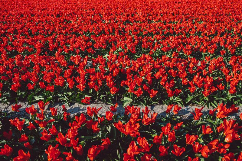 Full frame shot of red tulip flowers on field