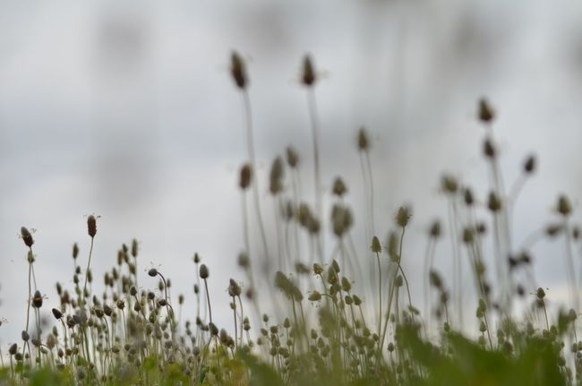 Nature Photography EyeEm Gallery EyeEm Nature Lover Plant Growth Beauty In Nature Nature Focus On Foreground No People Tranquility Flowering Plant Field Flower Outdoors Close-up Land Plant Stem Selective Focus Cloud - Sky Day