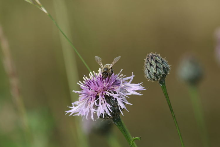 Animal Animals In The Wild Beauty In Nature Close-up Day Flower Flower Head Fragility Freshness Growth Insect Nature No People One Animal Outdoors Plant Pollination Purple Thistle Wildflower