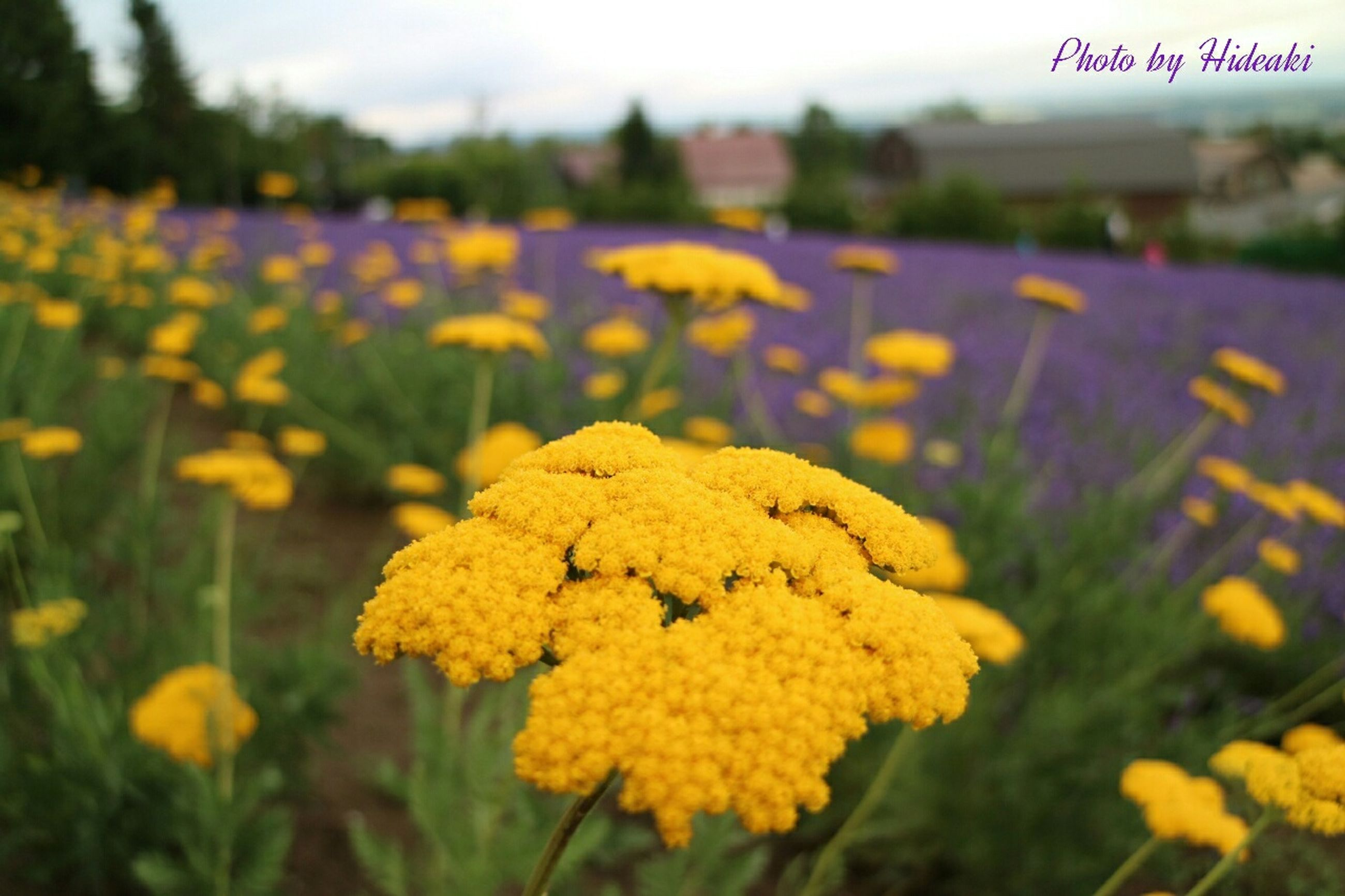 flower, yellow, freshness, fragility, focus on foreground, growth, beauty in nature, petal, nature, close-up, flower head, blooming, field, plant, selective focus, in bloom, day, outdoors, blossom, no people