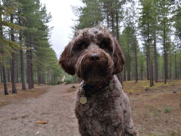 Labradoodle EyeEm Selects Dog One Animal Pets Tree Domestic Animals Animal Animal Themes