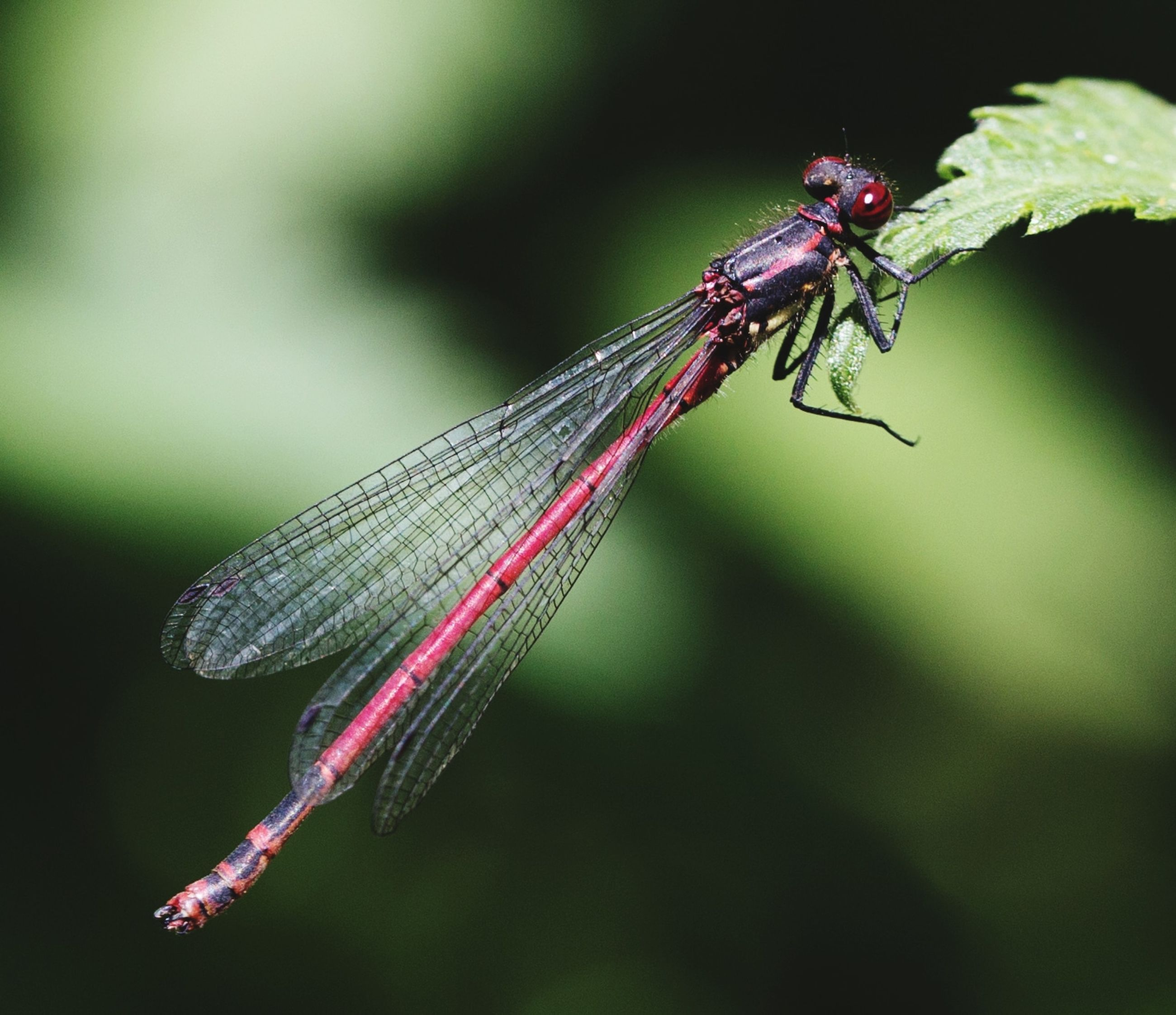 insect, invertebrate, animal wildlife, animal themes, animals in the wild, animal, close-up, one animal, focus on foreground, animal wing, no people, nature, day, plant, plant part, damselfly, leaf, outdoors, dragonfly, zoology