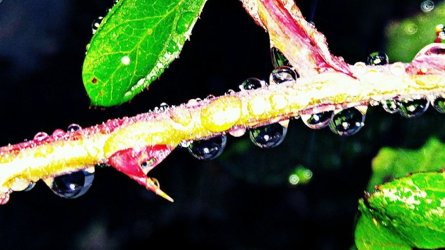 macro Raindrops Thorns Black Background No People Outdoors Nature Beauty In Nature
