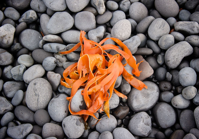 Djúpalónssandur Beach Iceland Seaweed Snæfellsnes backgrounds beach beauty in Nature close-up colour colour of life EyeEmNewHere Djúpalónssandur Beach Iceland Seaweed Snæfellsnes Backgrounds Beach Beauty In Nature Close-up Colour Day Nature No People Orange Color Outdoors Pebble