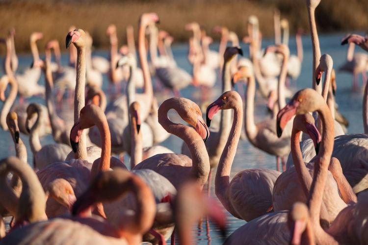 Flamingos during sunset