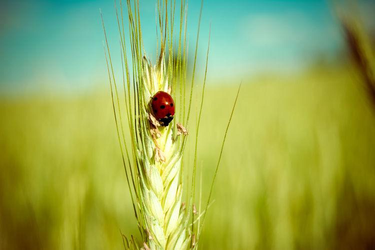 Close-Up Of Ladybug On Wheat Eat